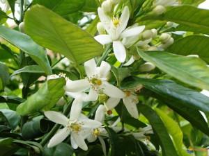 fleurs-d-oranger-visoflora-50671